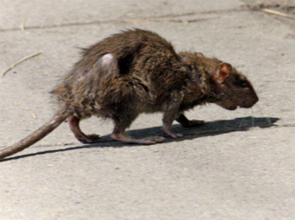 На детской площадке в центре Лондона найден огромная крыса
