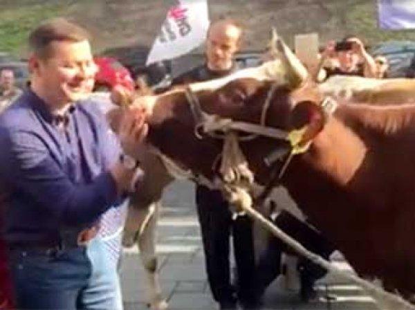 Радикал Ляшко поцеловал корову на митинге у здания кабмина Украины в Киеве