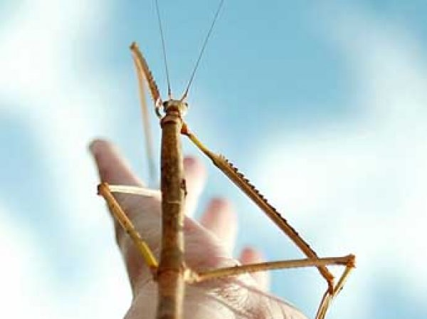 В Китае найдено самое длинное насекомое в мире