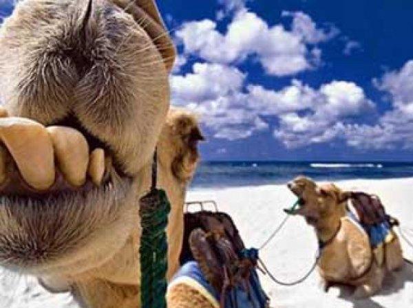 В Индии простоявший на 43-градусной жаре верблюд откусил голову хозяину