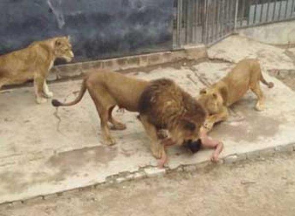 В зоопарке Чили львы терзали голого мужчину на глазах посетителей (фото, видео)