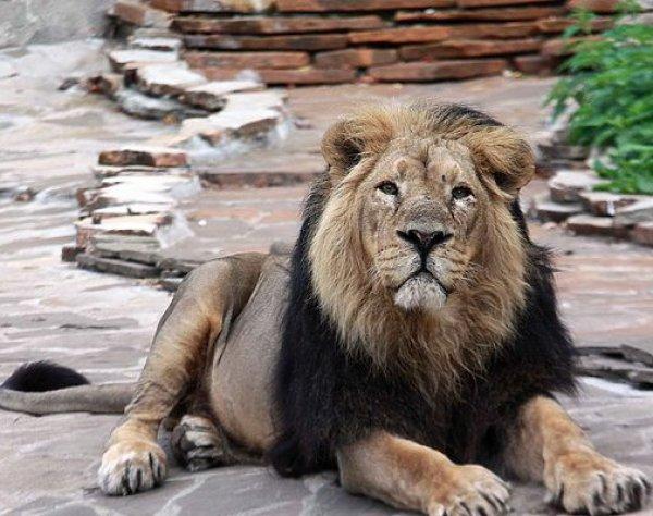 В Индии пьяный мужчина прыгнул в вольер ко львам, чтобы пожать им лапы (ВИДЕО)