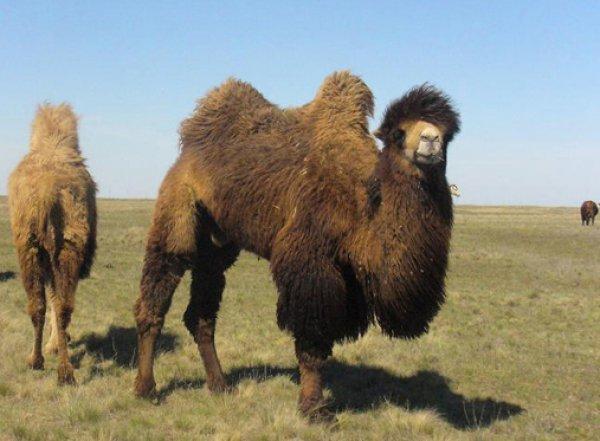 Под Астраханью стадо верблюдов атаковало иномарку: ВИДЕО опубликовано в Сети (ВИДЕО)