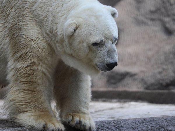 """В аргентинском зоопарке умер """"самый грустный медведь"""" в мире (ФОТО)"""