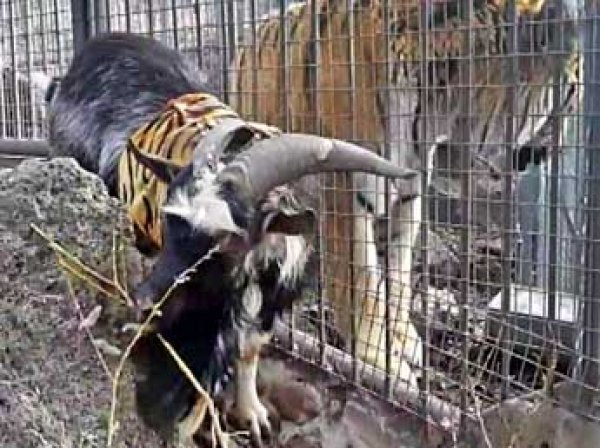 Тигр Амур встретил вернувшегося из Москвы козла Тимура фырчанием