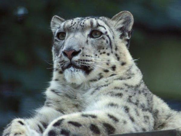 На Украине посетители зоопарка отравили пуму и снежного барса