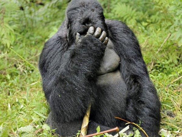 Ученые: к 2100 году на Земле исчезнут гориллы, носороги, тигры и другие животные