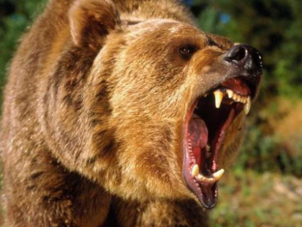 Медведь напал на геолога в Якутии