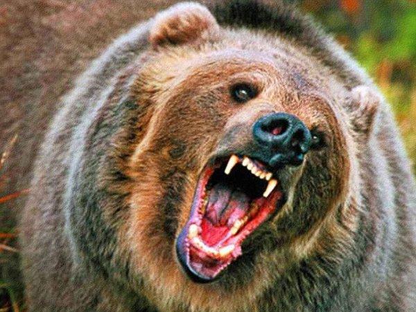 Растерзавший геолога медведь-людоед закопал тело своей жертвы