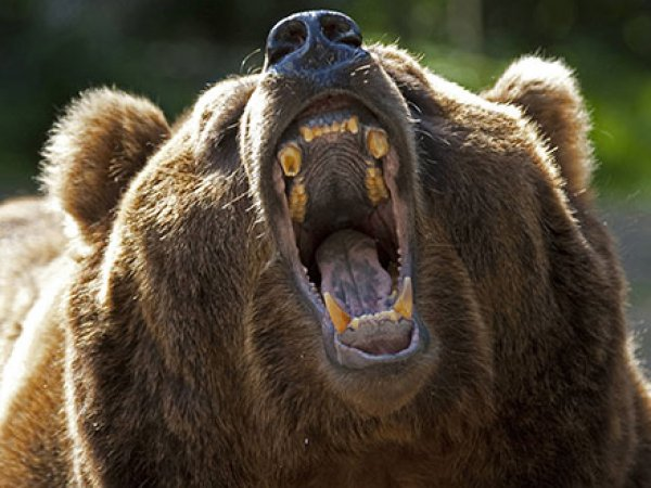 Опубликовано ВИДЕО с медведем, растерзавшим геолога в Якутии