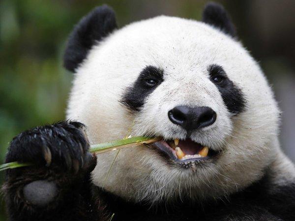 В Китае гигантская панда сломала ученому обе руки