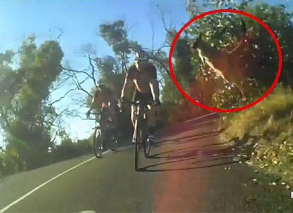 На YouTube появилось ВИДЕО прыжка кенгуру через мчащегося велосипедиста