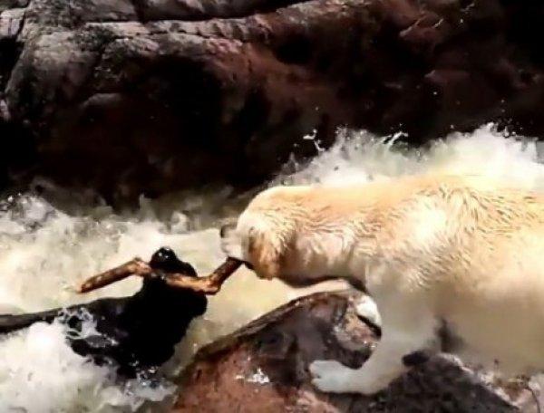 YouTube ВИДЕО дня: собака спасла тонущего пса из бурлящей реки