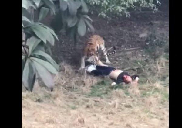 YouTube шокирован ВИДЕО, как тигр растерзал мужчину  в зоопарке Китая