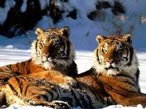 В Приморье два тигра на трассе напугали автомобилистов (ВИДЕО)