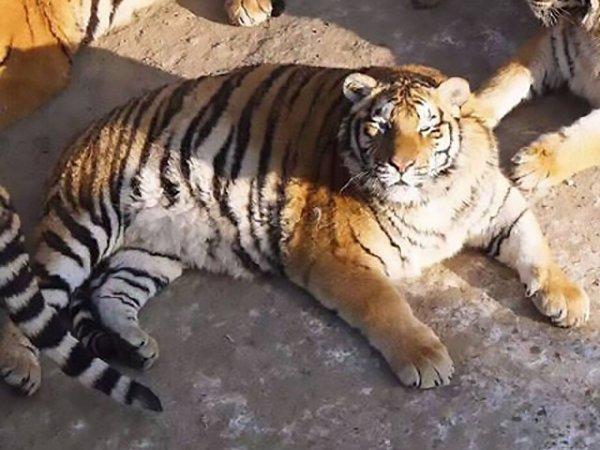 В зоопарке Китая неожиданно растолстели амурские тигры (ФОТО)