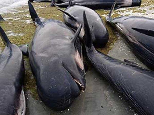 В Новой Зеландии на берег выбросились 400 черных дельфинов (ФОТО, ВИДЕО)