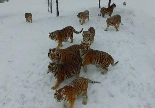 YouTube ВИДЕО: знаменитые толстые амурские тигры сбили и съели беспилотник