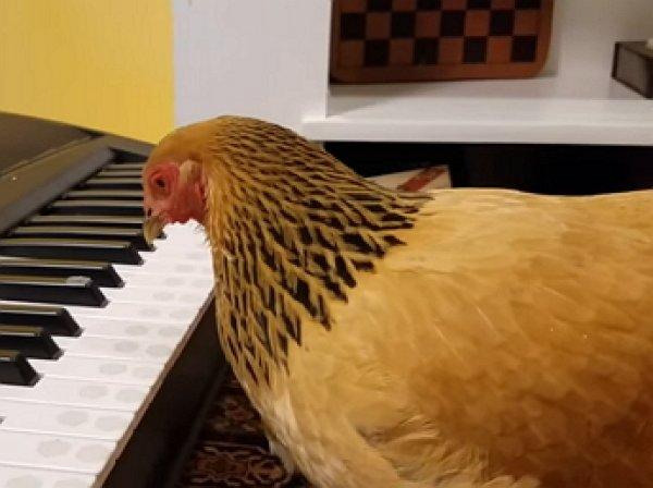 YouTube ВИДЕО: курица исполнила американскую патриотическую песню