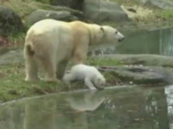 В Германии белый медвежонок впервые прогулялся на публике (ВИДЕО)