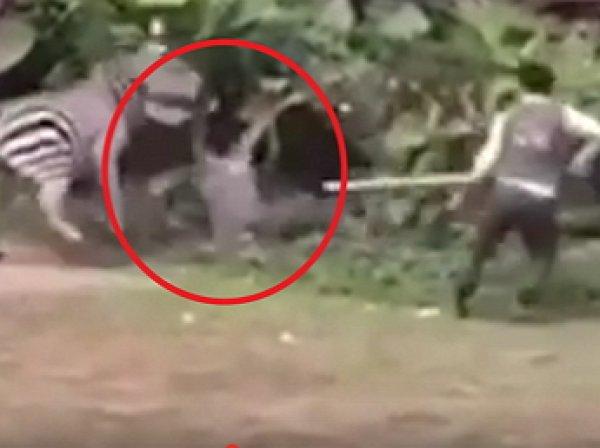 YouTube шокирован ВИДЕО жестокого нападения зебры на сотрудника зоопарка в Китае