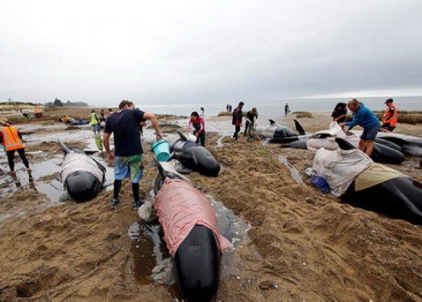 В Новой Зеландии свыше 200 выбросившихся на берег дельфинов смыло приливом (ФОТО)
