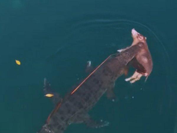 YouTube потрясло ВИДЕО плывущего крокодила со свиньей в зубах