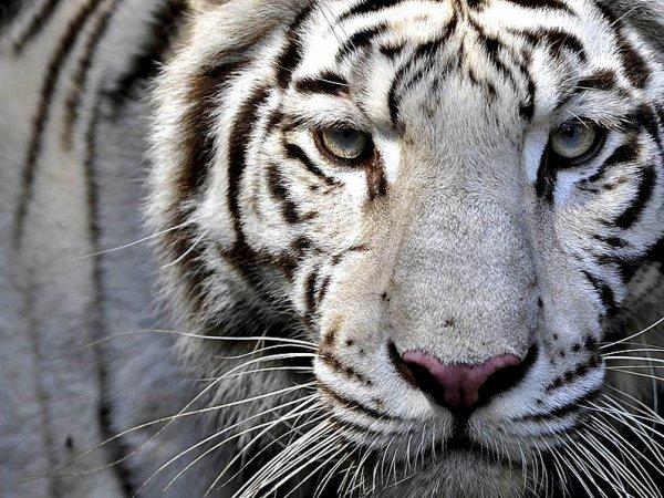 Под Оренбургом фура с белыми тиграми съехала в кювет