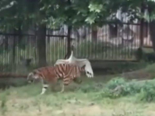 """YouTube """"взорвало"""" ВИДЕО, как в Китае отважный журавль прогнал трех тигров"""