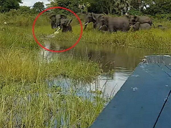 Очевидец снял на видео схватку слоненка с крокодилом