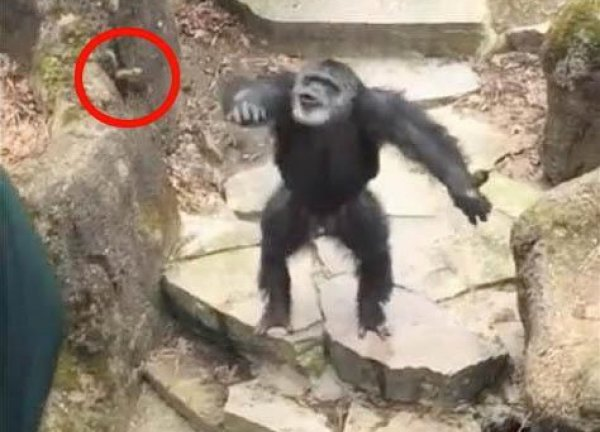 YouTube ВИДЕО с шимпанзе, запустившей фекалии в лицо старушке, стало хитом в Сети