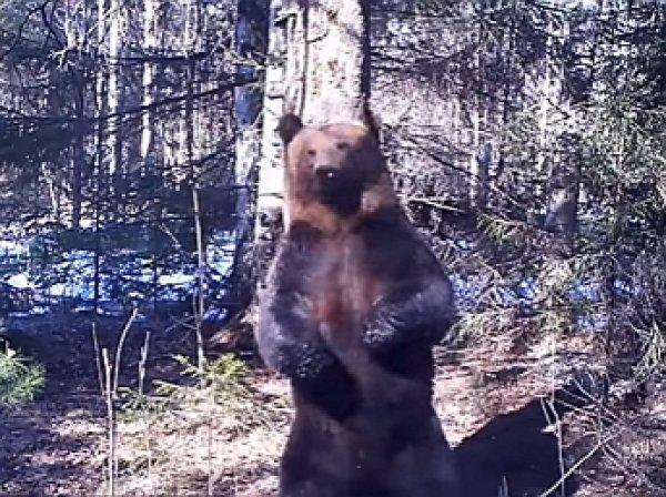 """ВИДЕО с """"танцами"""" у ели медведя Ферапонта сделали его звездой YouTube"""
