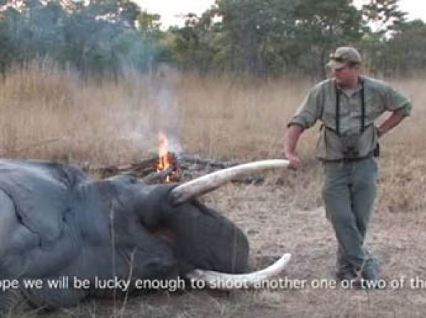В Зимбабве умирающий слон насмерть раздавил охотника за редкими животными (ФОТО)