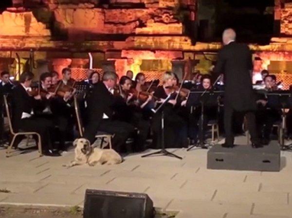 YouTube ВИДЕО: лабрадор стал звездой на выступлении Венского камерного оркестра в Турции