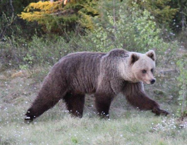YouTube ВИДЕО схватки оленя с медведем из-за детеныша стало хитом в Сети