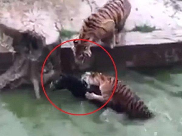 В китайском зоопарке живого осла скормили тиграм на глазах у посетителей