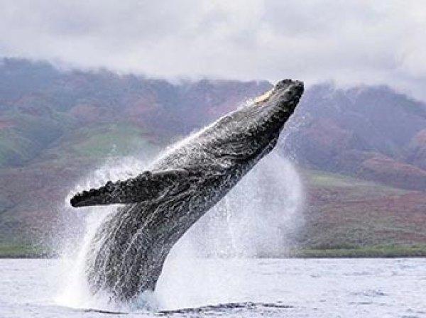 Аквалангист выложил на YouTube ВИДЕО, как гигантский кит целиком выскочил из воды