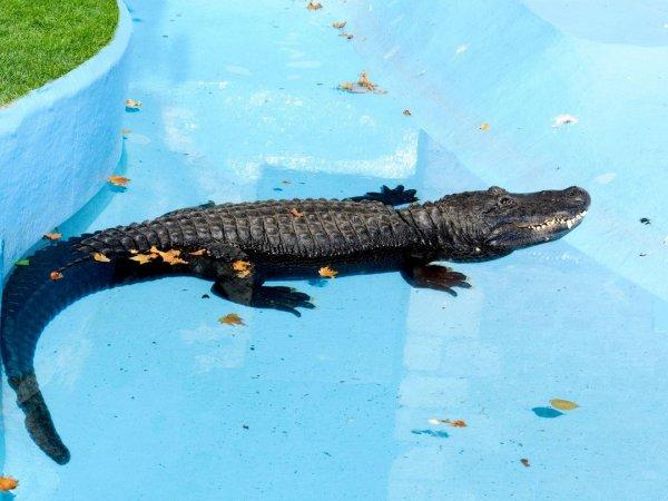 В Мексике крокодил в бассейне напал на сотрудника отеля