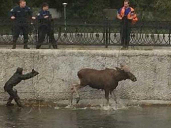 В Москве лось сбежал от полицейских и чуть не утонул в пруду (ФОТО, ВИДЕО)