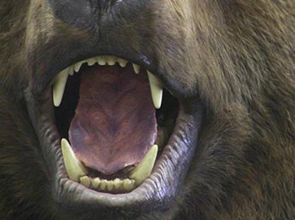 В США медведь не смог загрызть собаку из-за ожирения