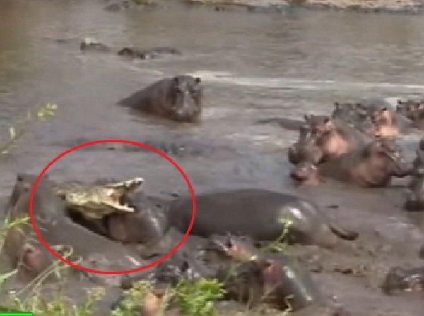 YouTube ВИДЕО: крокодил чудом спасся в схватке со стадом бегемотов