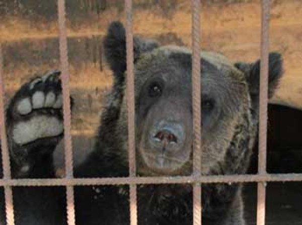 Под Воронежем сбежавший из зоопарка медведь убил 87-летнего пенсионера
