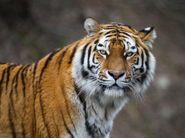 В США усыпили привезенного из России амурского тигра Мартина