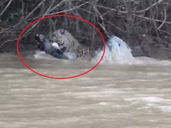YouTube ВИДЕО: ягуар схлестнулся в смертельной схватке с кайманом
