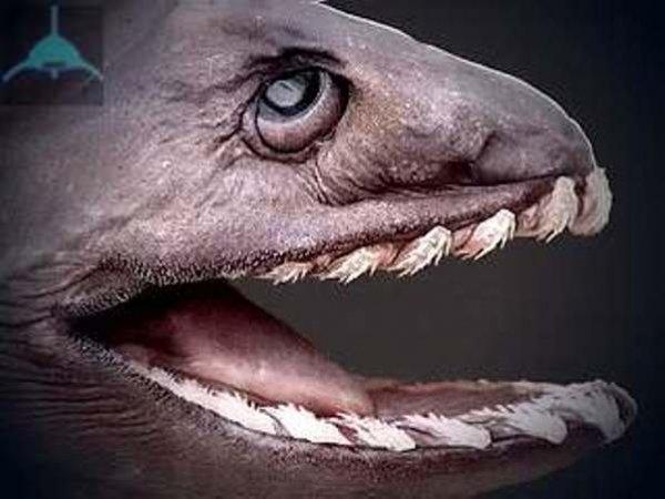 В Португалии выловили доисторическую акулу