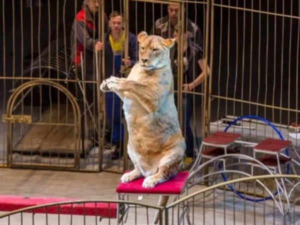 Соцсети развеселили упитанные львицы из цирка Владивостока
