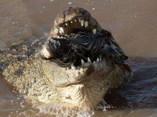 В Петергофе полиция в ходе обысков по делу об оружии нашла двухметрового крокодила