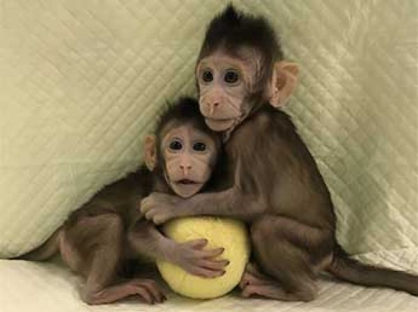 Китайцы теперь могут клонировать людей на примере обезьяны
