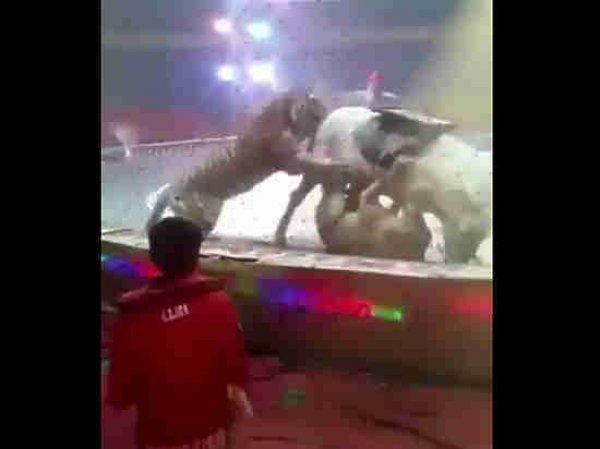 В китайском цирке лев с тигром едва не загрызли лошадь прямо во время представления