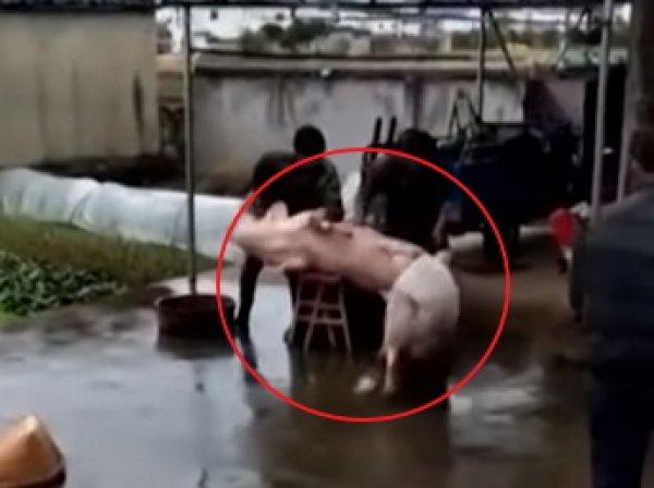 Свинья в Китае героически отбила собрата у мясников